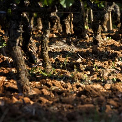 pieds de vigne Bourgogne